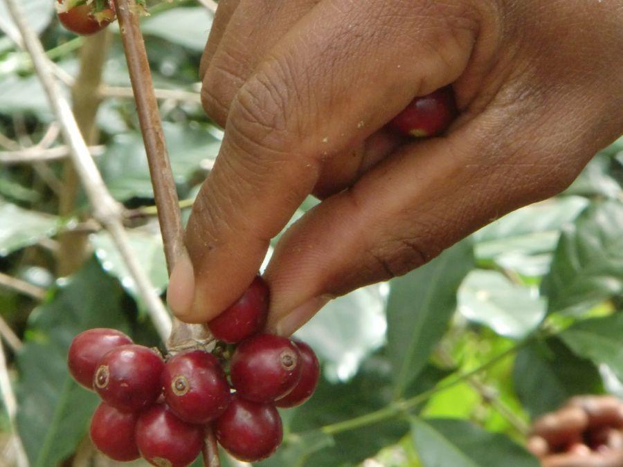 Koffie plukken met de hand Oost Timor