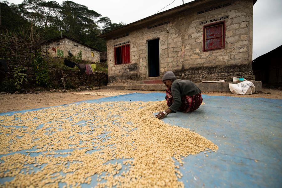 drogen koffiebonen Oost Timor Quirilelo